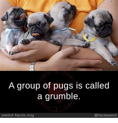 of pugs called 25 best memes about a of pugs a of pugs memes