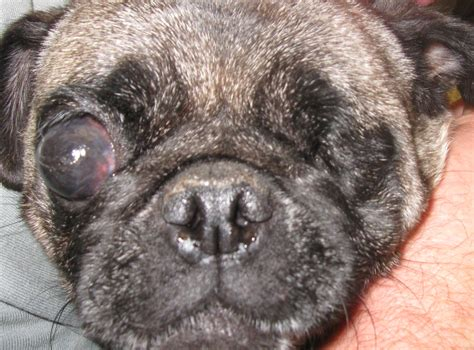 eye problems in pugs midwest pug rescue mn division mn mpr mill pugs