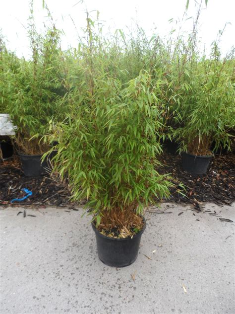 Bambus Als Heckenpflanze 834 bambus als heckenpflanze roter bambus 140 150cm