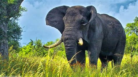 cool elephant wallpaper elephant wallpaper free download maydang