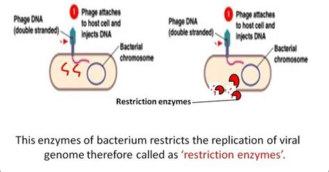 pattern notes definition restriction enzymes definition types and cut patterns