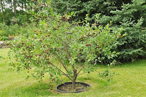 cherry tree planting how to grow a cherry tree corner