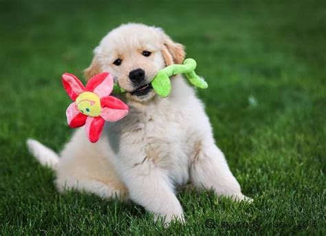 where to find golden retriever puppies finding a golden retriever puppy golden retriever club of america