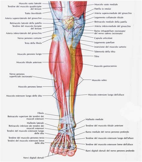 tendine interno coscia muscolo estensore lungo delle dita piede