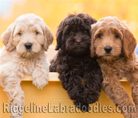 australian labradoodle puppies mocha treat photos ridgeline labradoodles chocolate mini australian labradoodle