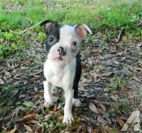 boston terrier puppies for sale in florida akc boston terriers puppies for sale in wesley chapel florida classified