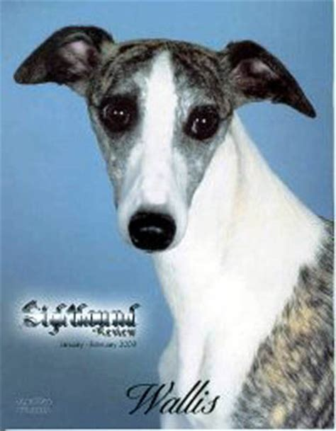 惠比特犬图片第726张_惠比特犬图片 - 中国名犬网