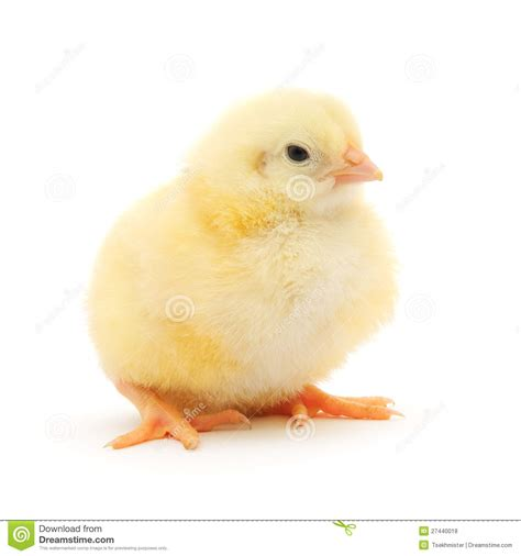 small chicken small chicken royalty free stock photos image 27440018