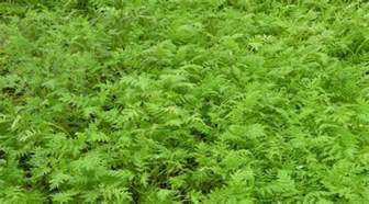 les engrais verts conseils jardinage bio