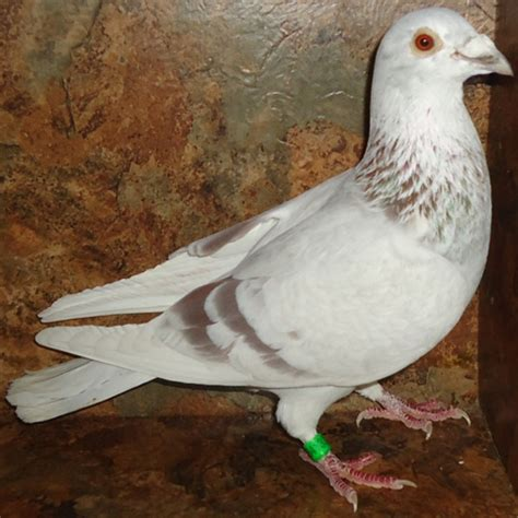 homing pigeons for sale by color
