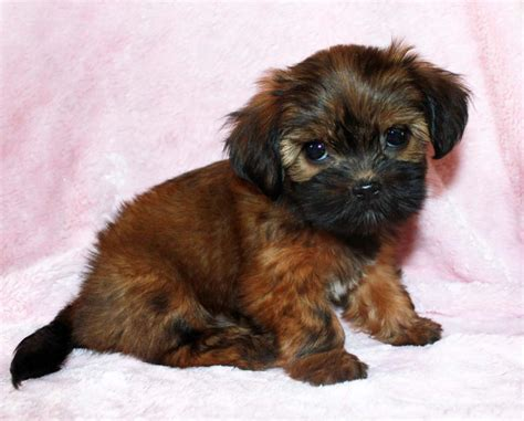 teacup pomeranian orlando grown yorkie breeds picture