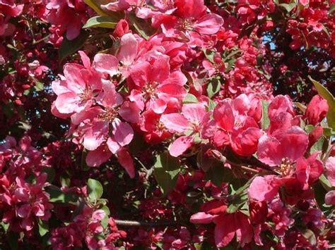 alberi in fiore alberi in fiore piante da giardino alberi in fiore
