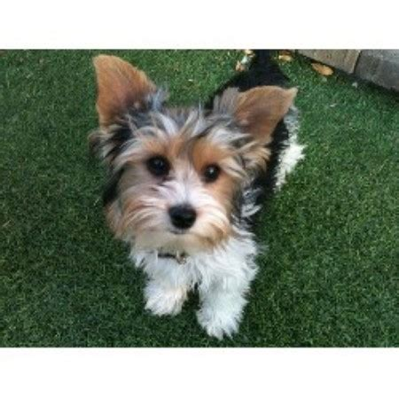 biewer yorkie rescue terrier puppies rescue and adoption near you autos post