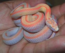 rainbow colored snake bubblegum snow corn snake cool snakes