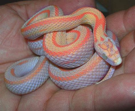 corn snake colors snake colors patterns curiosity never killed this cat