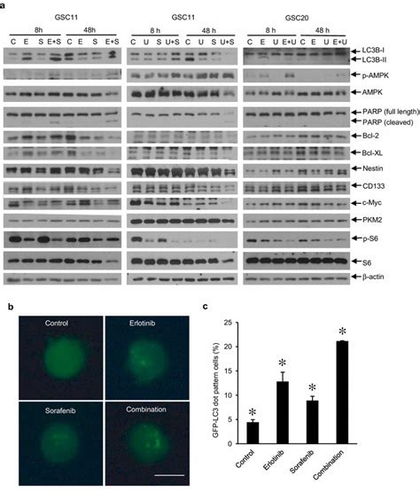 pattern analysis glioma induction of autophagy and apoptosis and decrease of