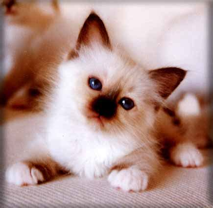 foto di gatti persiani bianchi gattini piccoli bianchi xw57 187 regardsdefemmes