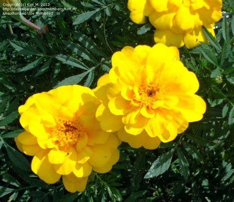 Safari Yellow by Plantfiles Pictures Marigold Marigold Safari