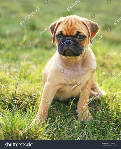 pug filter baby pug chihuahua mix puppy stock photo 295448105