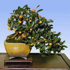 kumquat tree not bearing fruit 1000 images about bonsai fruit bearing trees on