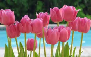 flowers for flower lovers pink tulips flowers