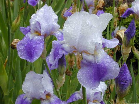 imagenes flores lirios im 225 genes de flores y plantas lirios