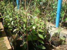 Nature Stek Tanaman cara budidaya tanaman vanili copas dot