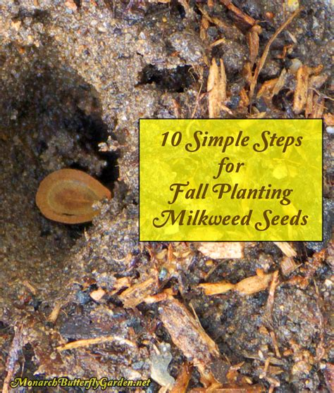 fall planting milkweed seeds 10 simple steps