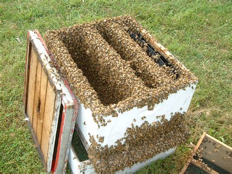 start a beehive in your backyard 100 having a beehive in your backyard bee season balls of bees in trees swarms