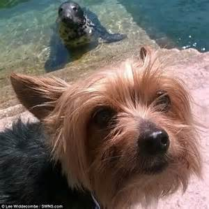 where can i get a yorkie puppy terrier is photobombed by a seal as owners snapped him on seaside walk