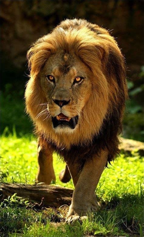 beeg best 2291 best beeg kittehs images on pinterest big cats