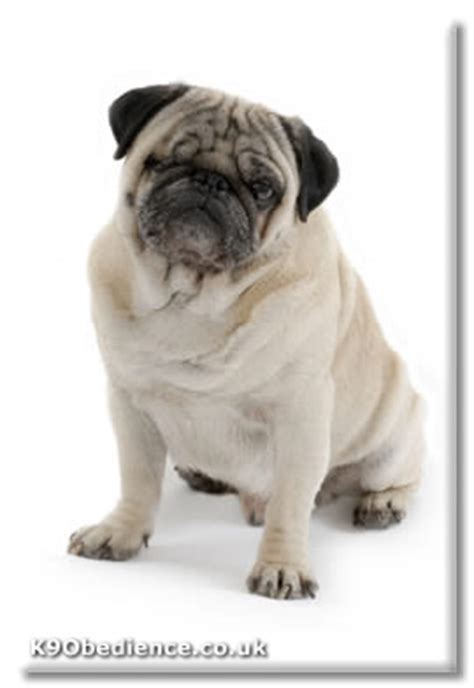 pug breed profile pug choosing a professional dogs dogs small dogs