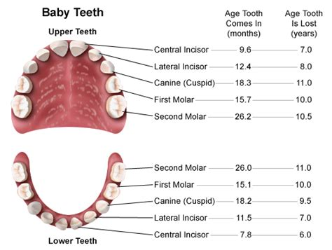 ages when baby teeth come in and fall out baby when do kids start losing teeth stay informed