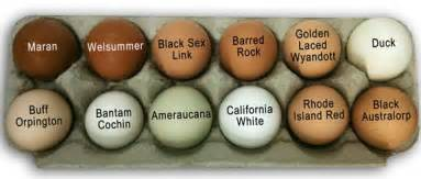 egg color chart egg colors breeds chickens chickens