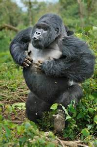 gorillas pictures for gorillas interesting facts and pictures all wildlife
