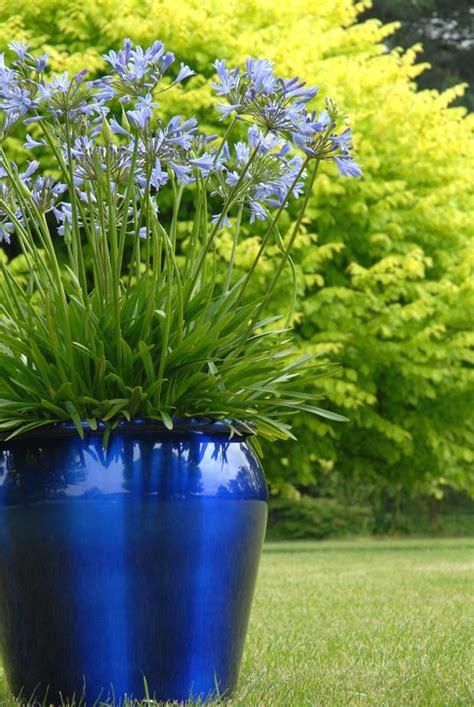 agapanthus easy to grow landscaping plants and more