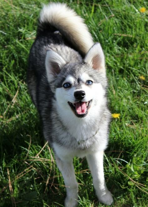 miniature husky pomeranian mix klee and pomeranian mix breeds picture