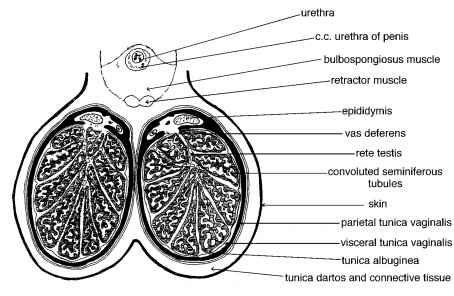 testicular diagram the testis sertoli cells rr school of nursing