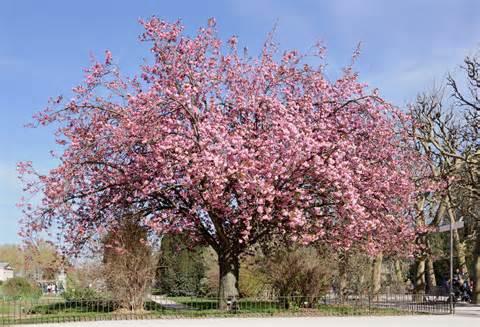 cherry tree wisconsin file cerisier du japon prunus serrulata jpg 维基百科 自由的百科全书