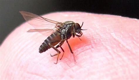 sand fliese sand flies of sandflies in and around homes