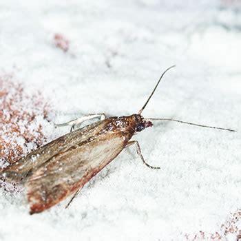 mediterranean flour moth catseye pest control