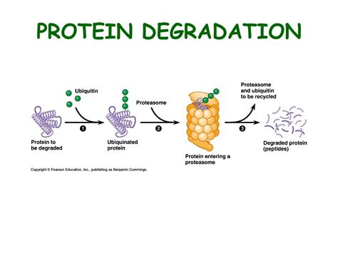 protein degradation eukaryotic gene expression ppt