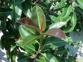 ficus rubber tree rubber plant india rubber tree ficus