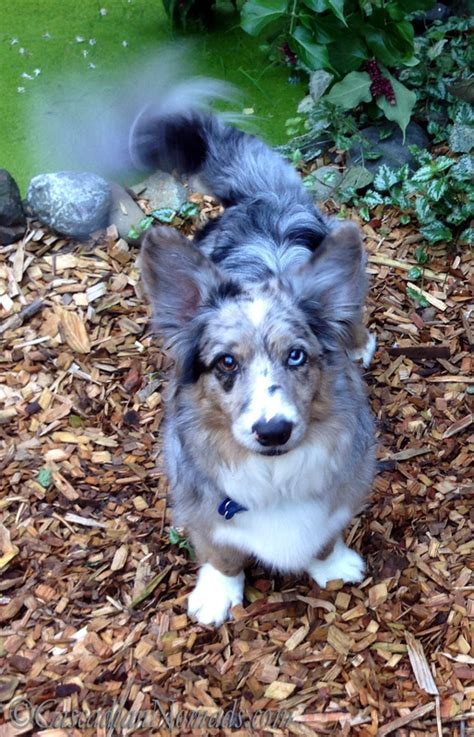 blue merle corgi puppies blue merle cardigan corgi cascadiannomads corgi s make me laugh