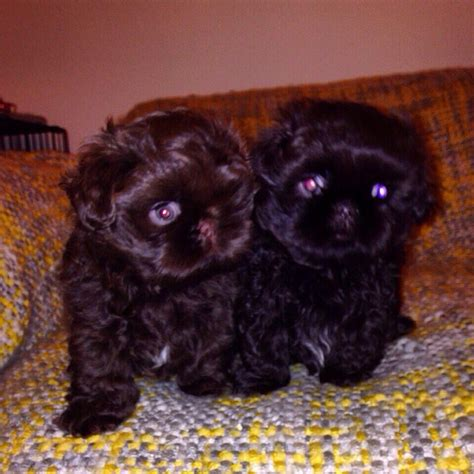 chocolate imperial shih tzu chocolate imperial shih tzu puppy bradford west pets4homes