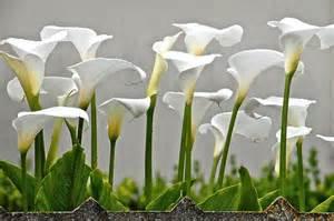 flickr the sensual flowers anturium anthurium kalia kalla