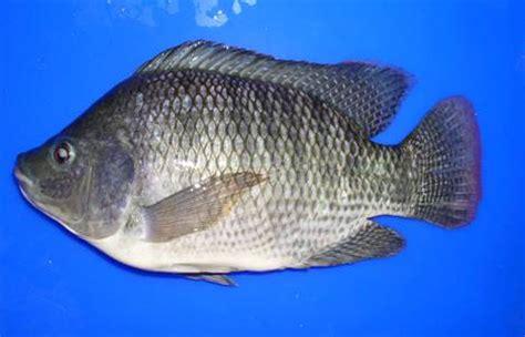 Bibit Ikan Nila Pekanbaru pusat grosiran berbagai bibit ikan menjual berbagai bibit