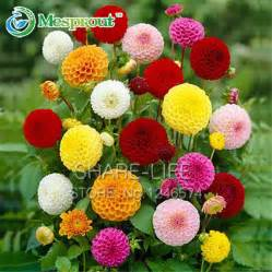 dahlia flower seeds reviews shopping dahlia