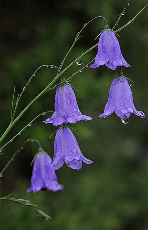 purple canula bell flower for cottage garden start a easy backyard project holicoffee