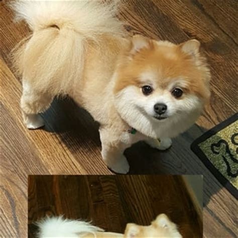 pomeranian grooming teddy cut heights grooming pet groomers the heights houston tx yelp